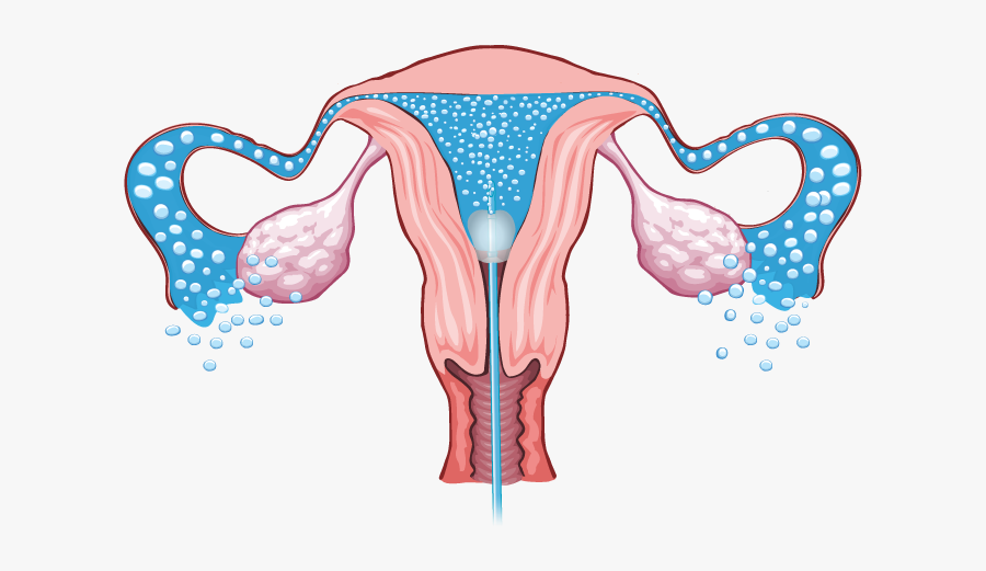 Female Reproductive Organ Without Label, Transparent Clipart