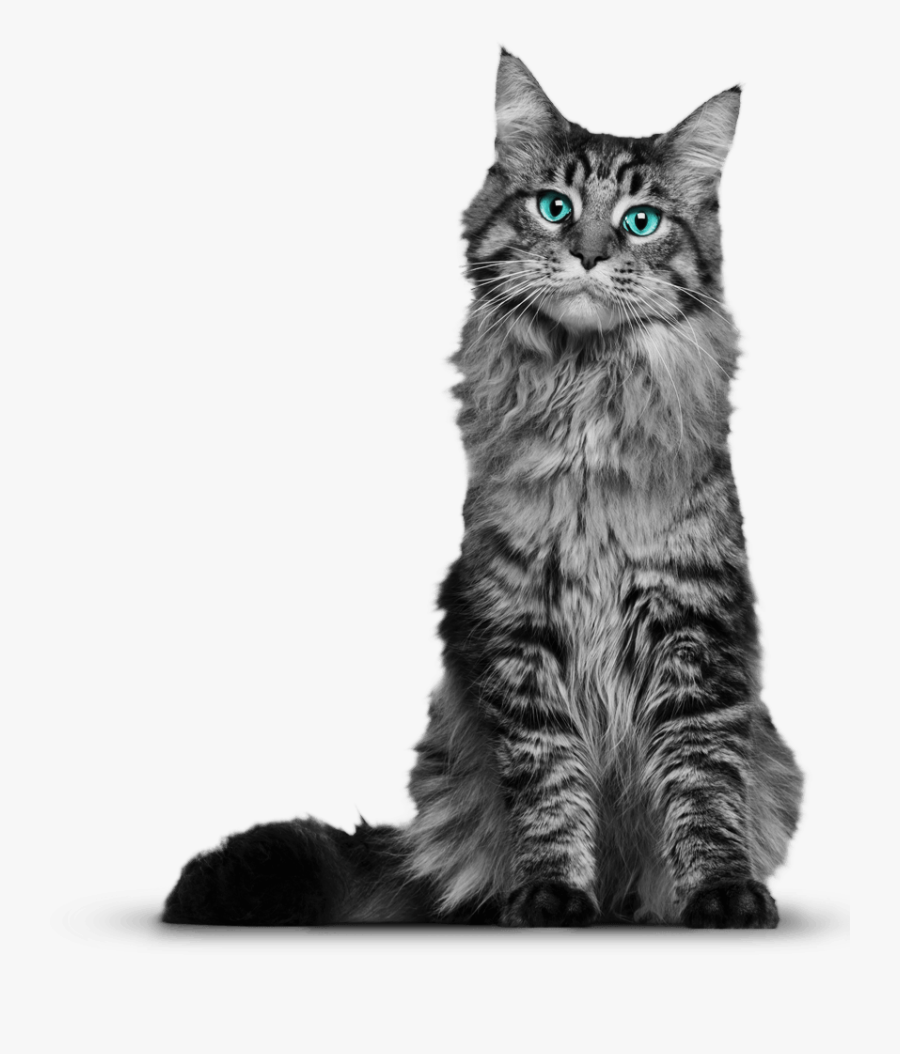 Clip Art Png Hd Pictures Of - 6 Month Old Maine Coon Kittens, Transparent Clipart