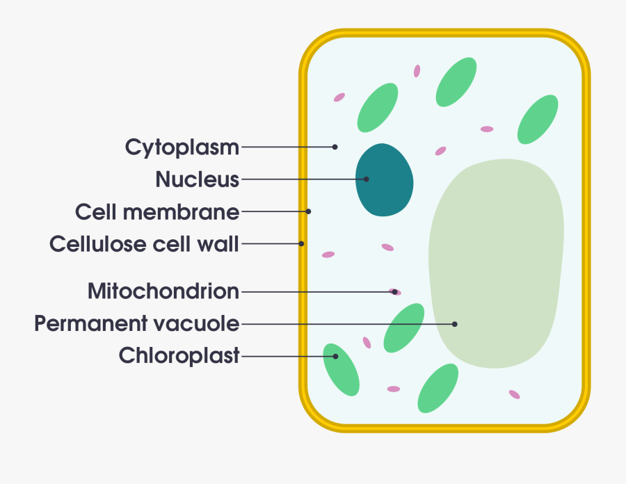 Filesimple Diagram Of Yeast Cell Ensvg Simple English ...