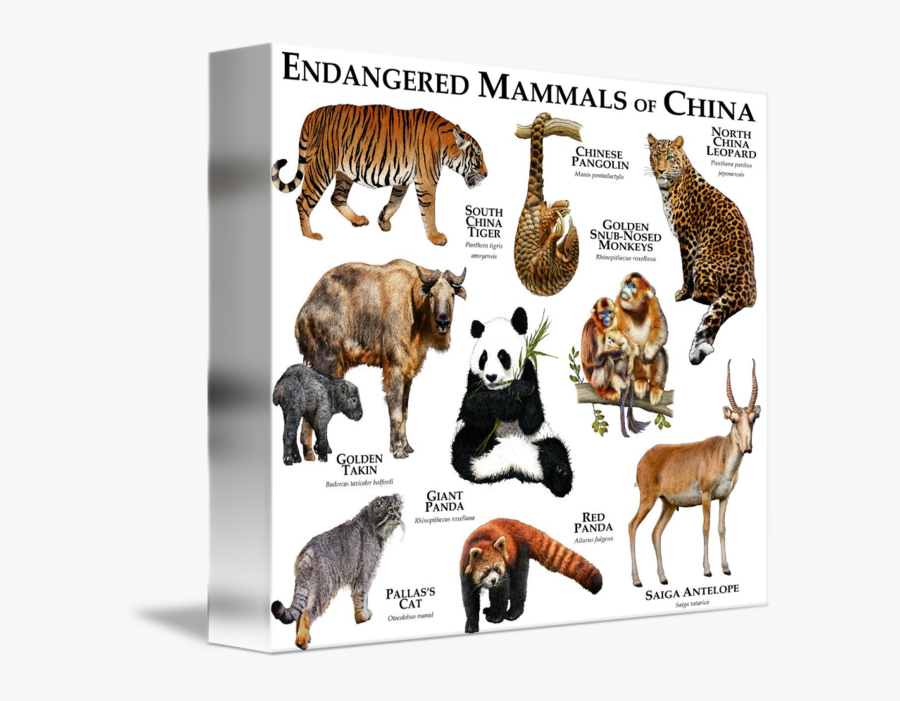 United Mammals Cat States Endangered Extinction Species - 5 Endangered Animals With Name, Transparent Clipart