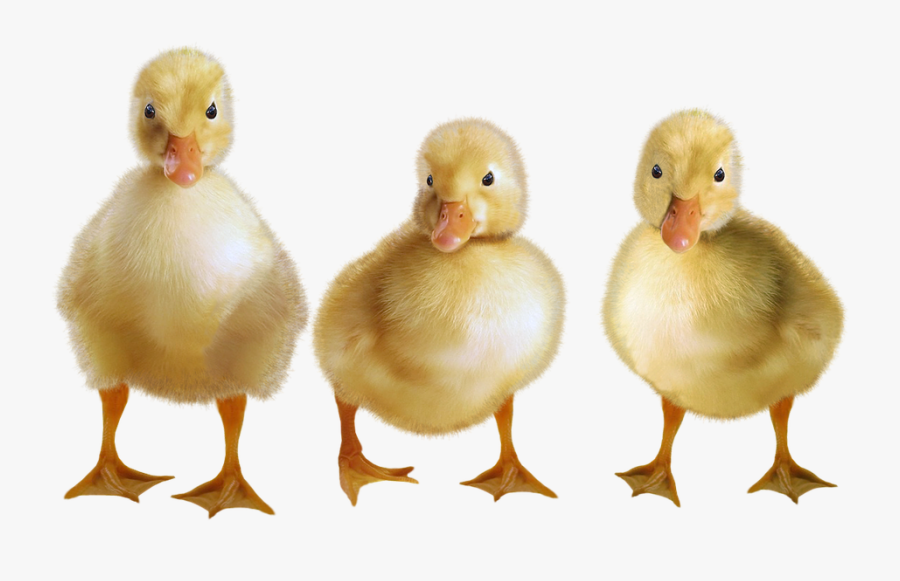 Ducklings Png, Transparent Clipart