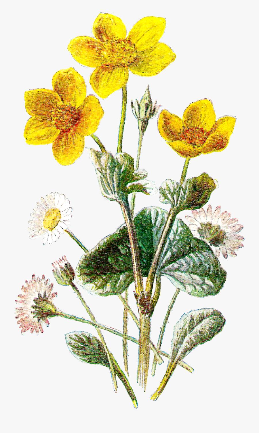 Transparent Botanical Clipart - Marsh Marigold And Daisy, Transparent Clipart