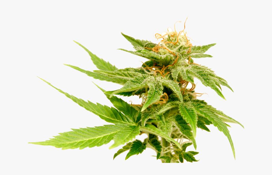 Transparent Marijuana Plant Clipart - Jack Herer Flower, Transparent Clipart