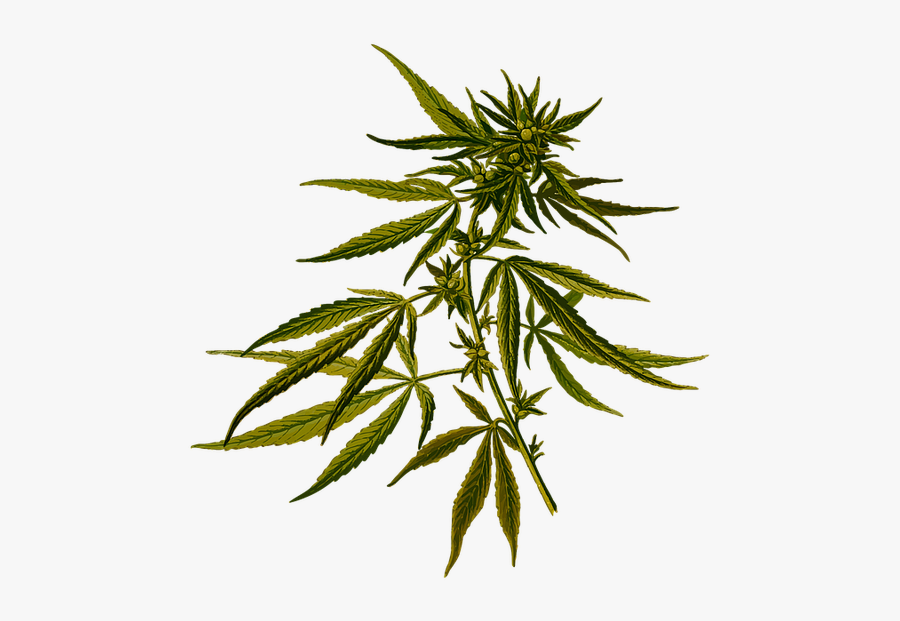Weed Leaf, Vector Graphic Cannabis Drug Hash Hashish - Hemp Leaf Botanical Drawing, Transparent Clipart