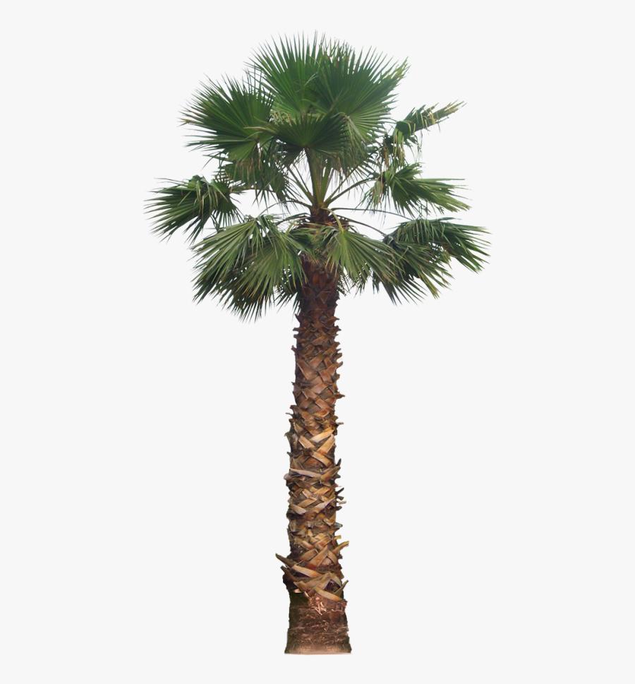 Coconut Clipart Desert Tree - Desert Palm Tree Png, Transparent Clipart