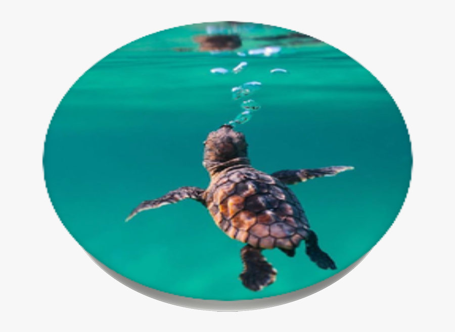 St Jude Children Research Hospital Baby Sea Turtle - Underwater Baby Sea Turtles, Transparent Clipart