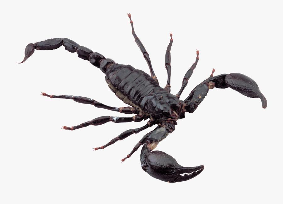 Black Scorpion - Scorpion Png, Transparent Clipart