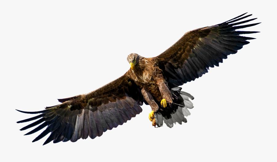Eagle,wildlife,bald Eagle - Bird Of Prey Png, Transparent Clipart