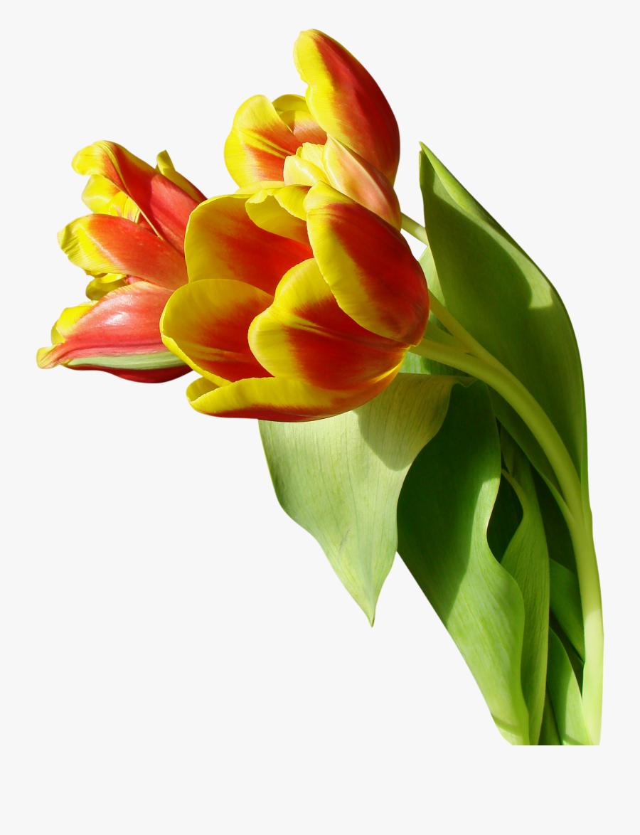 Тюльпан На Прозрачном Фоне, Transparent Clipart
