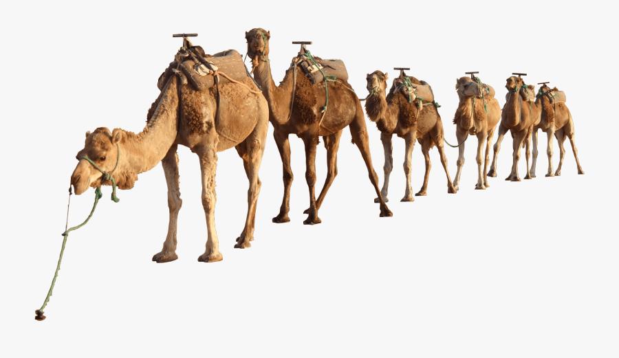 Clip Art Camel In Desert Picture - Camels Png, Transparent Clipart