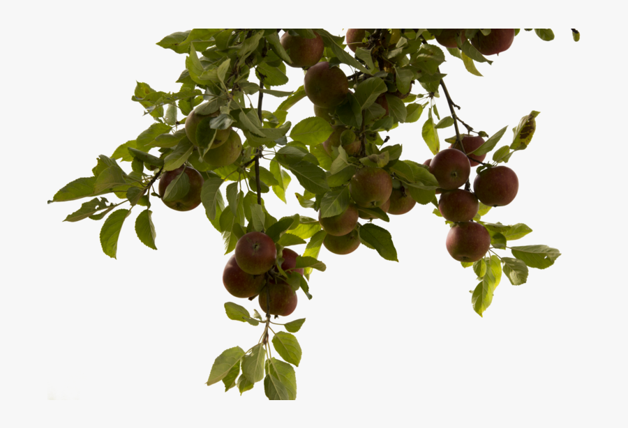 Tree Branch Png Photos - Apple Tree Branch Png, Transparent Clipart