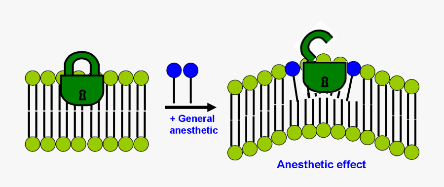 Modern Lipid Hypothesis Of Mechanism Of General Anesthesia - General Anesthesia Drug Mechanism Of Action Of General, Transparent Clipart