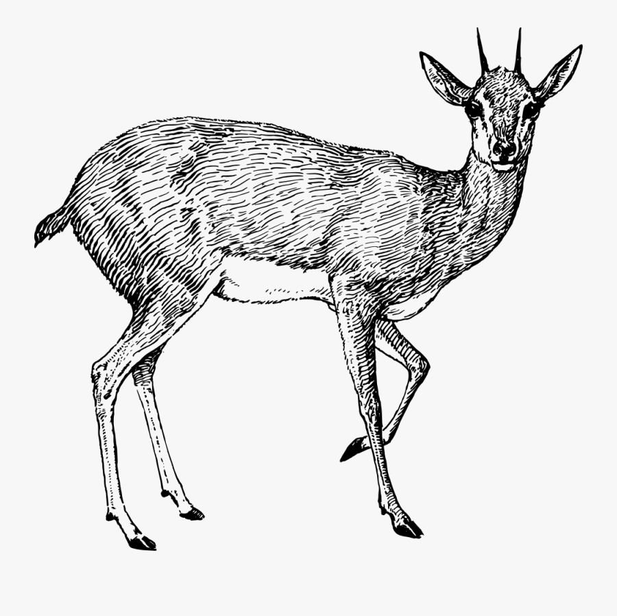 Steenbok - Pronghorn Antelope Drawing Png, Transparent Clipart
