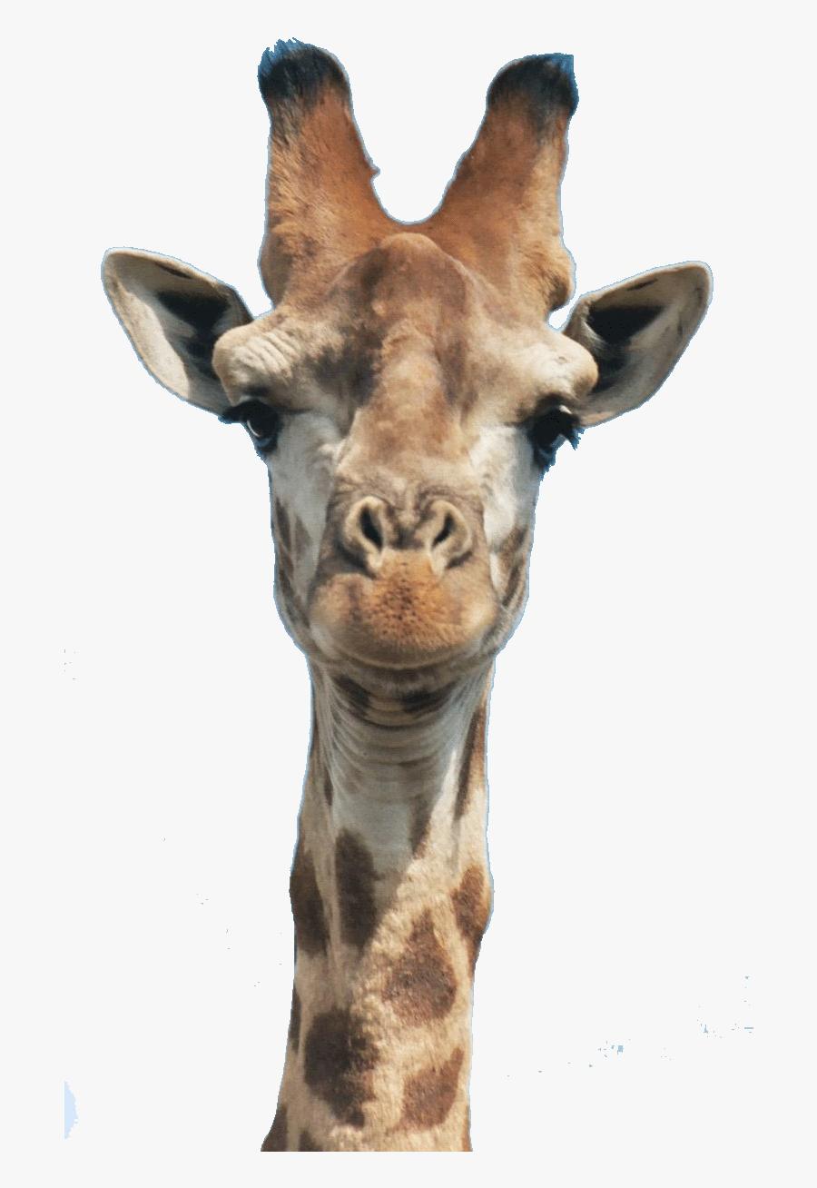 Giraffe Head, Transparent Clipart