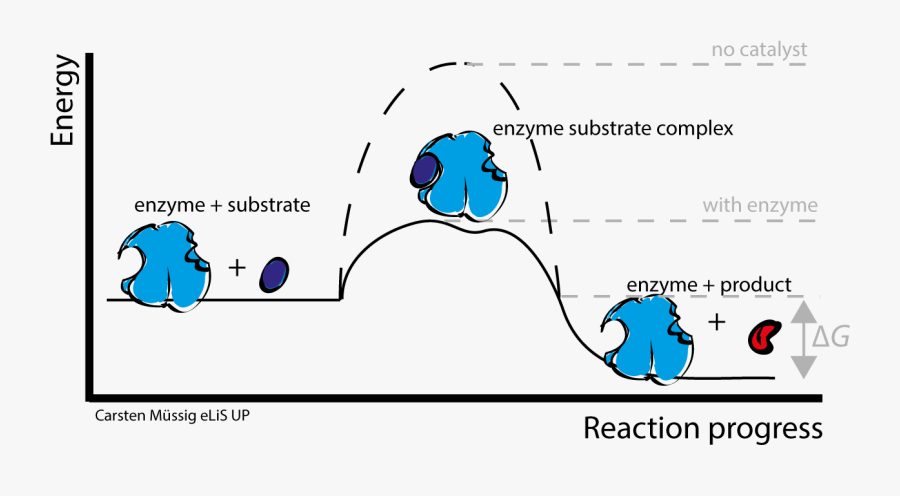 Do Enzymes Speed Up Chemical Reactions - Enzyme Substrate ...