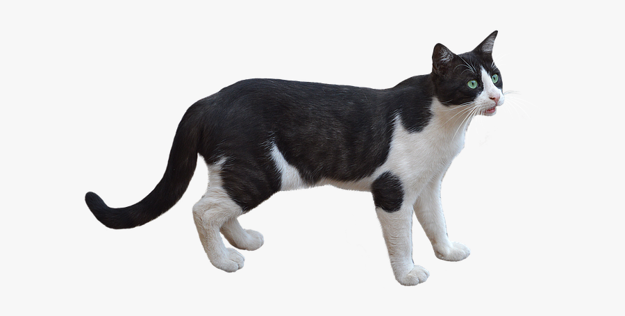 Png, Cat, Pet, Feline, Bottomless, White Color, Animal - Black And White Cat Png, Transparent Clipart
