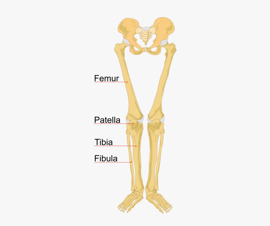 Clip Art Skeleton Hand Labeled - Human Skeleton, Transparent Clipart