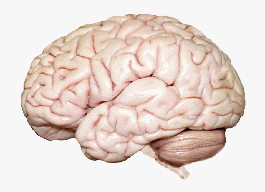 Psychology Chapter 2 Human Brain - Human Brain, Transparent Clipart