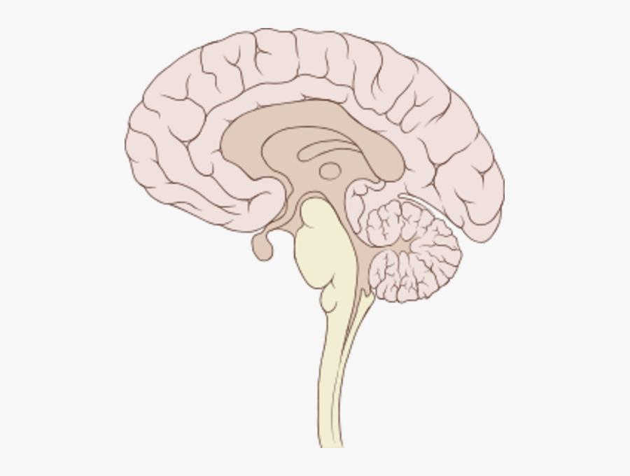 Brain Clipart Sagittal Section - Brain Sagittal, Transparent Clipart