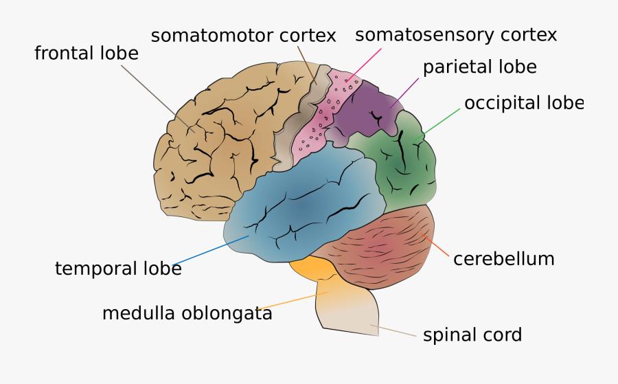 Brain Diagrams, Transparent Clipart