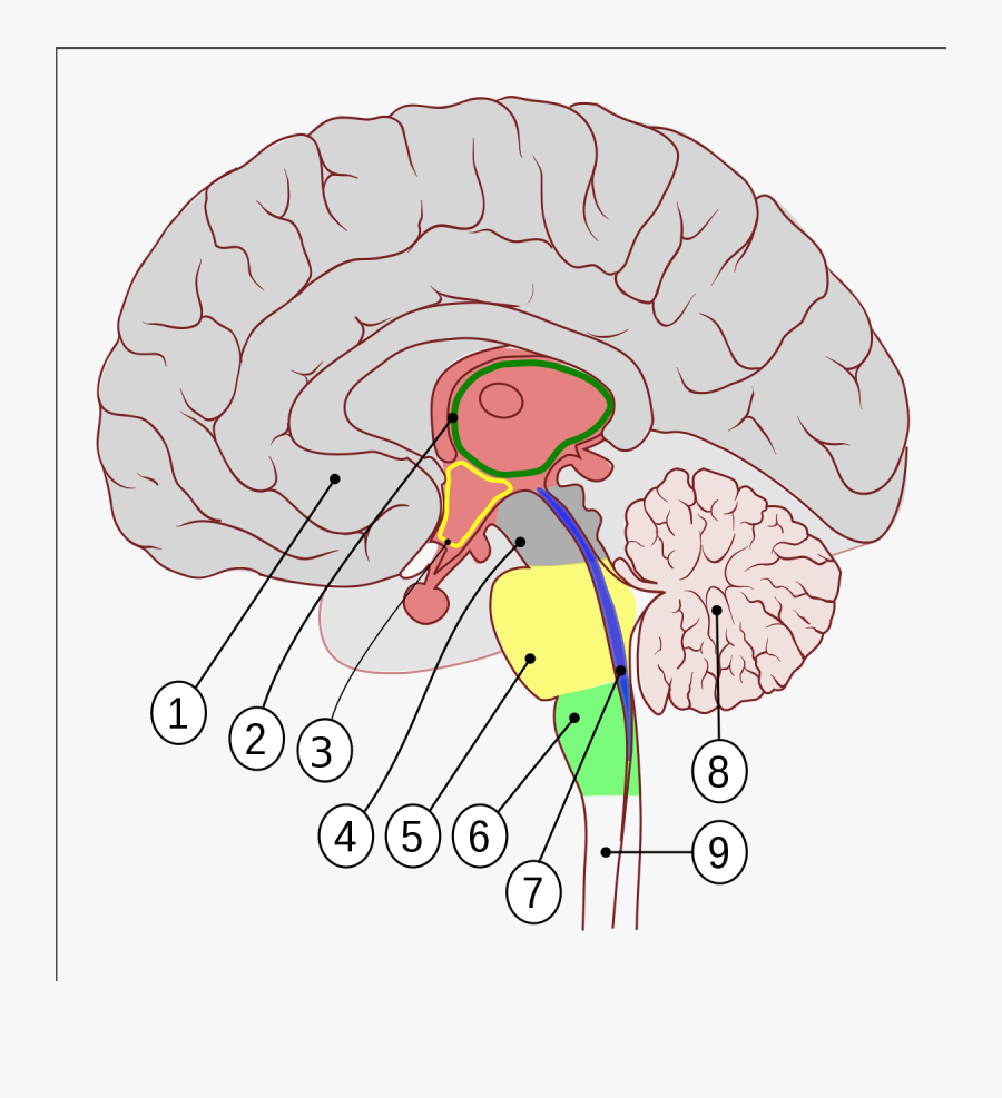 Brain Encephalon, Transparent Clipart