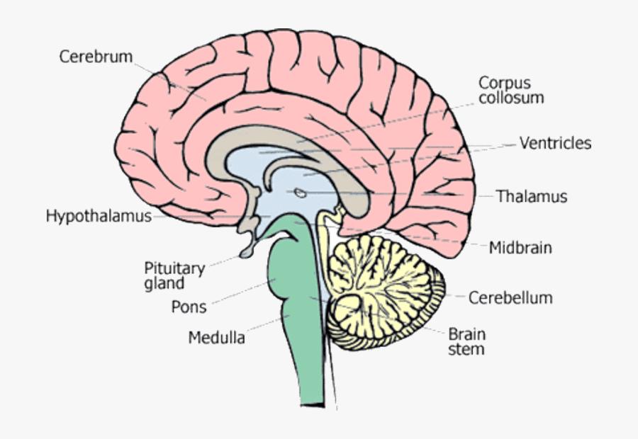 1 Different Parts Of Human Brain [13] - Figure Of Human Brain, Transparent Clipart