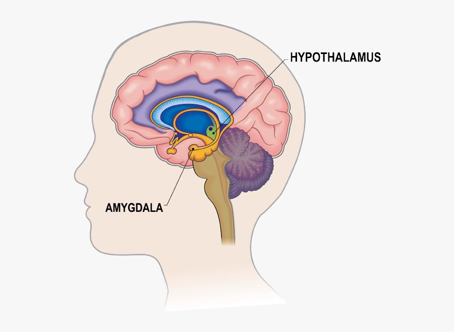Brain Amygdala Hippocampus Prefrontal Cortex , Free ...