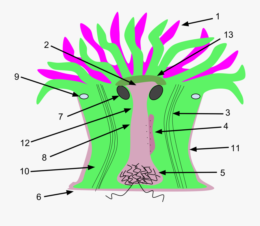 Acontias Clipart Sea Anemone - Sea Anemone Internal Structure, Transparent Clipart