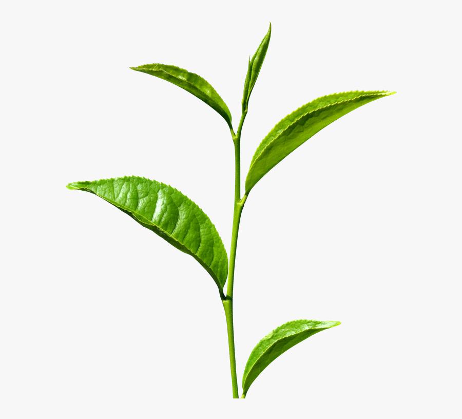 Green Tea Transparent - Green Tea Leaf Png, Transparent Clipart