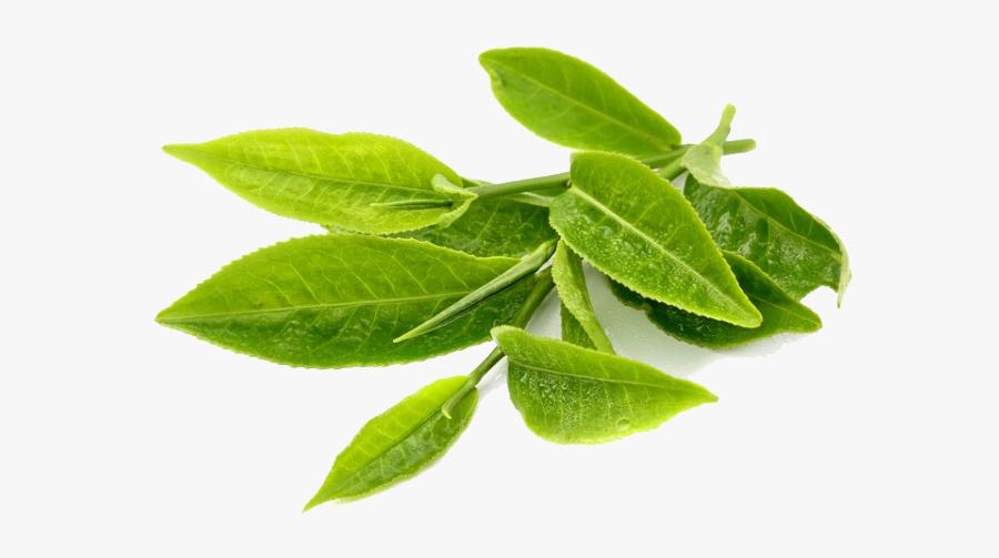 Green Tea Transparent Png Transparent Green Tea Leaves Png Free Transparent Clipart Clipartkey