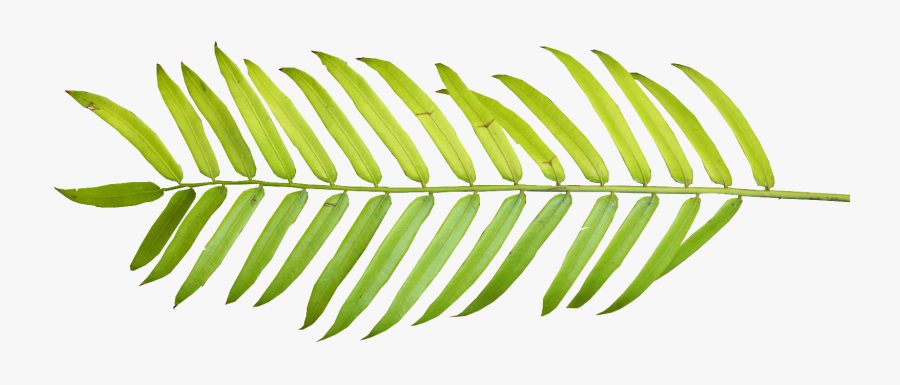 Palm Tree 01 Clipart - Tropical Leaves Png Watercolor, Transparent Clipart