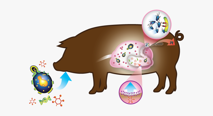 Swine Hilyses Components Feed - Swine Gut Health, Transparent Clipart