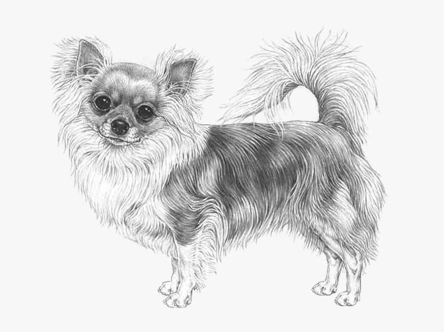 Long Haired Chihuahua Drawing, Transparent Clipart