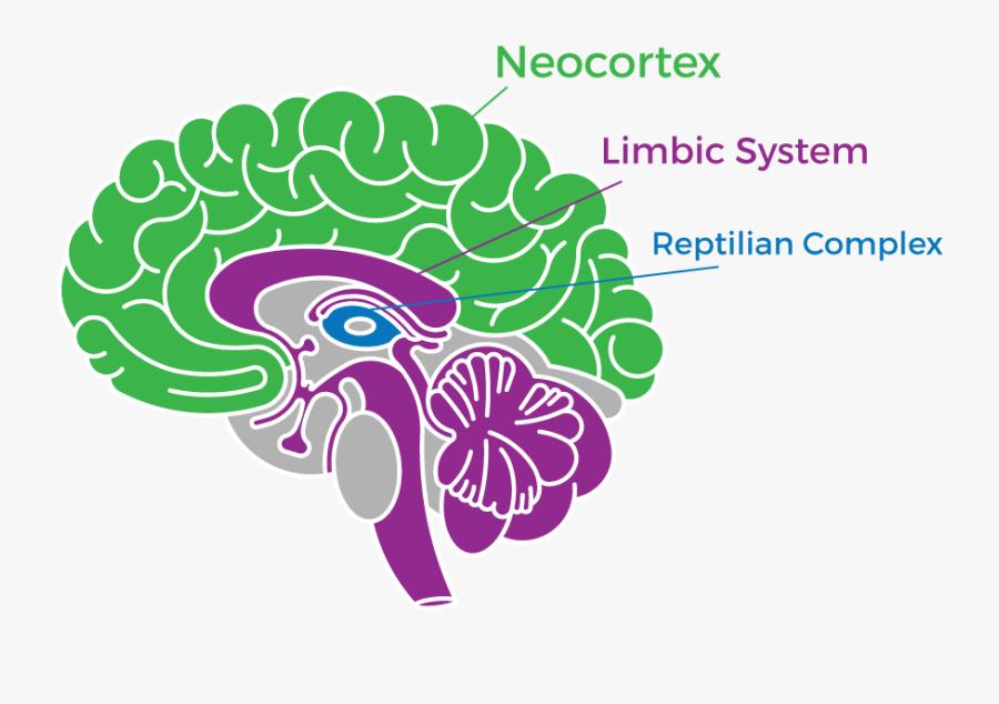 Brain-info - Tri Brain, Transparent Clipart