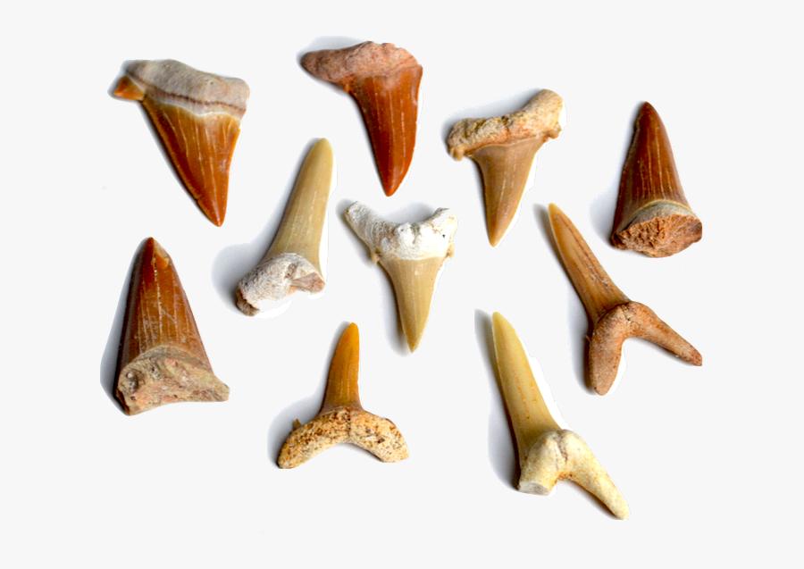 Our Sharks - Marine Invertebrates, Transparent Clipart