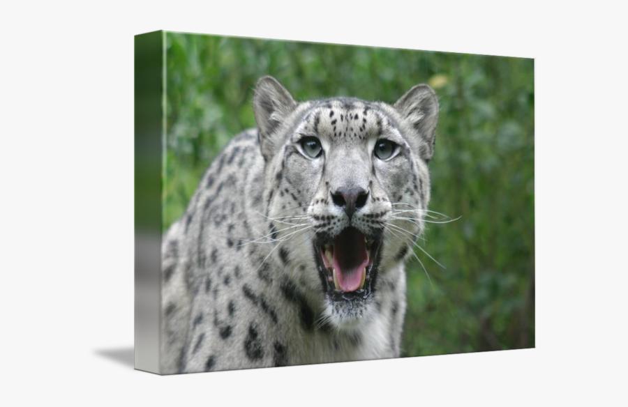 Clip Art Leopard Face - Snow Leopard, Transparent Clipart