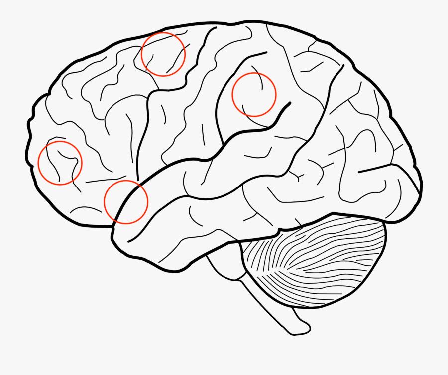 Transparent Frontal Lobe Clipart Imagenes Del Cerebro Para