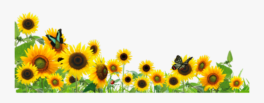 #ftestickers #flowers #sunflowers #butterfly #border - Border Sunflower Clipart, Transparent Clipart