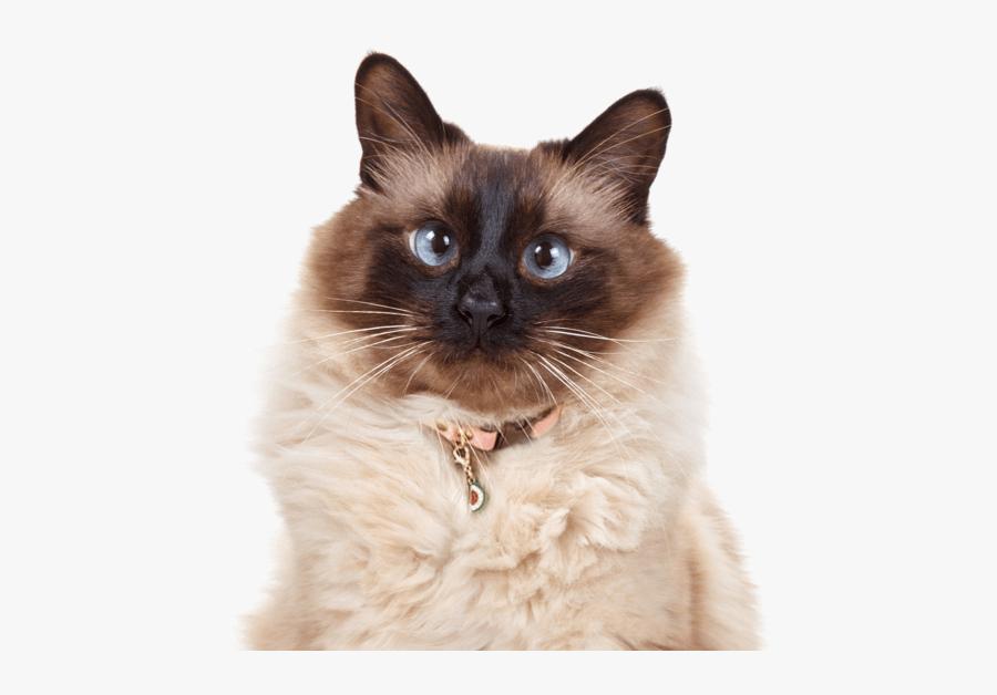 Clip Art Abyssinian Kittens Cats Balinese Cat