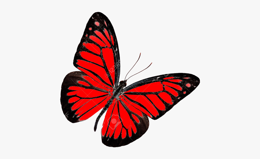 Butterfly Png White Background Transparent Background Red Butterfly Transparent Free Transparent Clipart Clipartkey