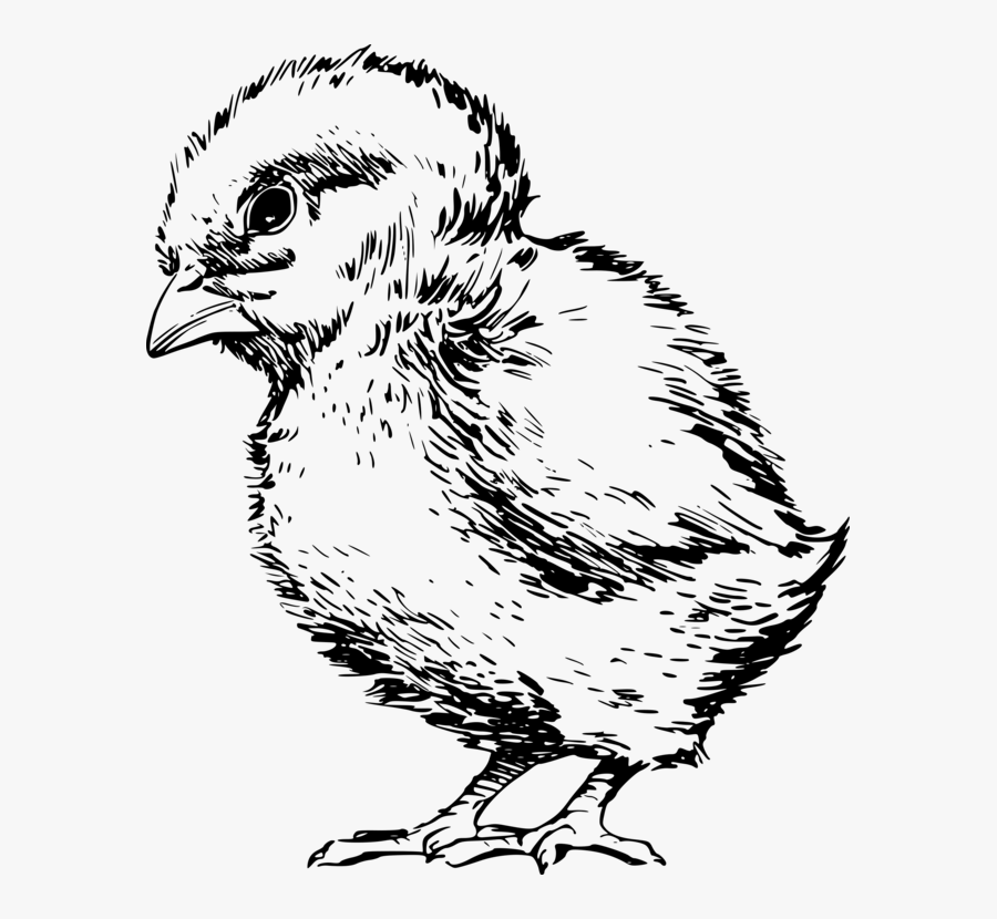Art,fowl,rooster - Drawings Of A Chick, Transparent Clipart