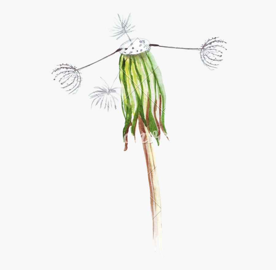 Hand Drawing Of Watercolor Pencil Wilted Dandelion - Drawing, Transparent Clipart