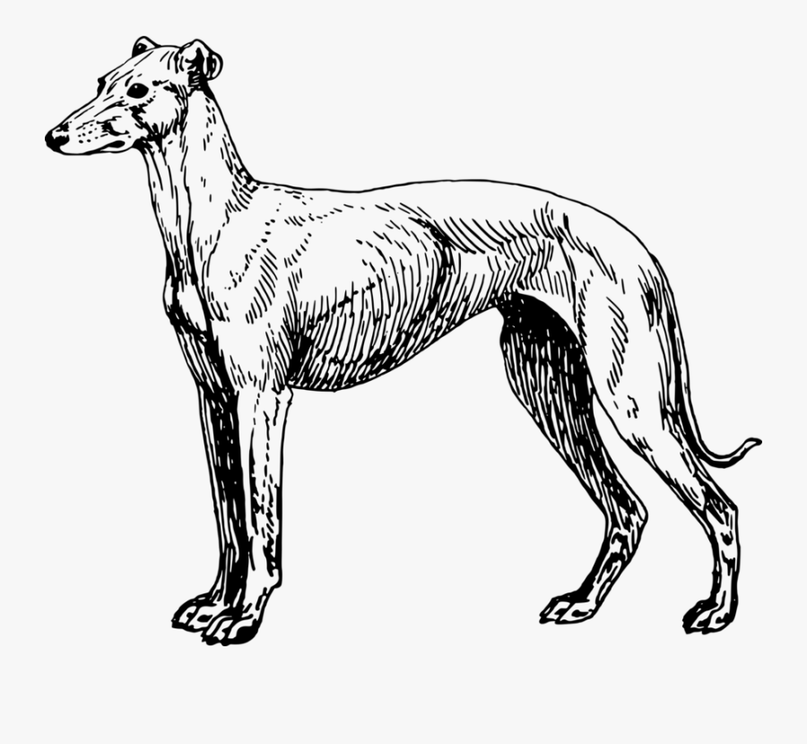 Line Art,longdog,carnivoran - Spanish Greyhound Clipart, Transparent Clipart