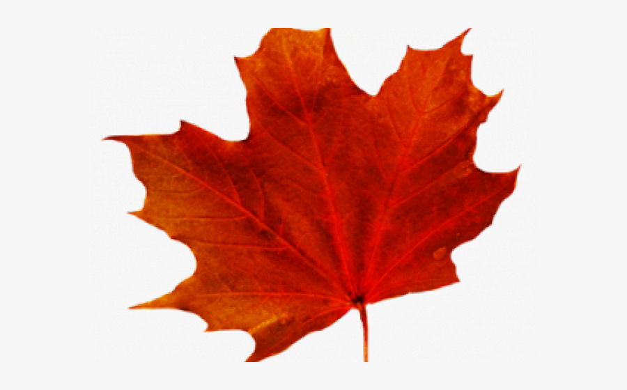 Maple Leaf Clipart Transparent Background Transparent Background Fall Leaf Clipart Free Transparent Clipart Clipartkey