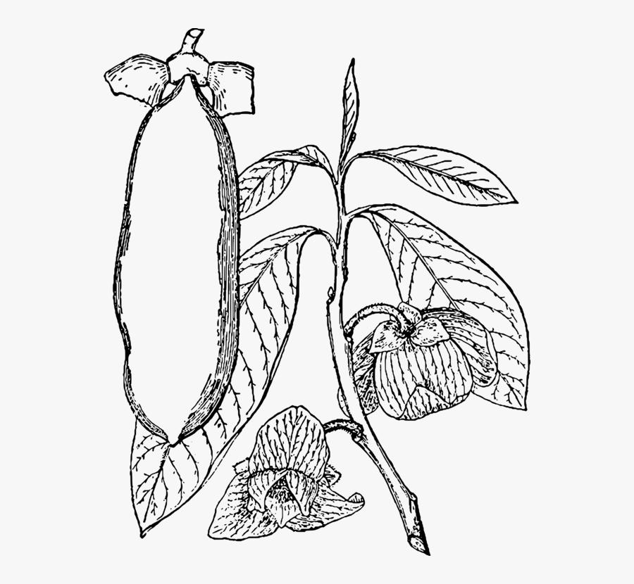 Plants Clipart Pawpaw - Line Art, Transparent Clipart