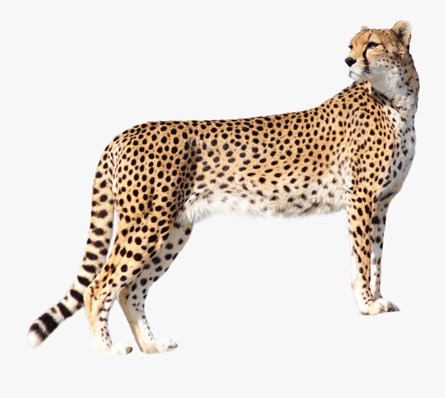 Clip Art Image Purepng Free Transparent - Cheetah Png, Transparent Clipart