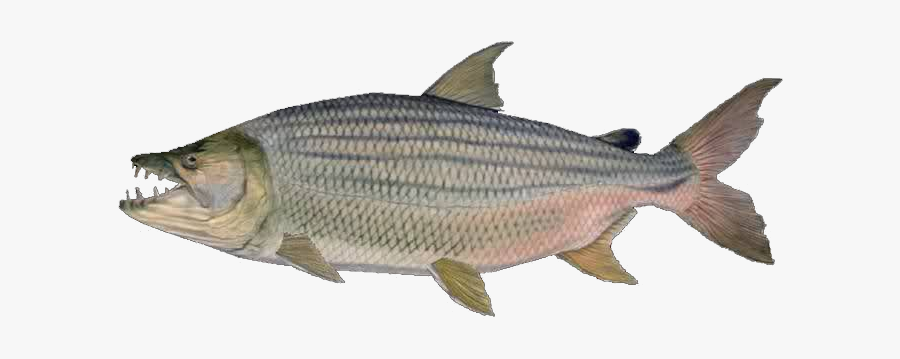 Goliath Tiger Fish White Background, Transparent Clipart