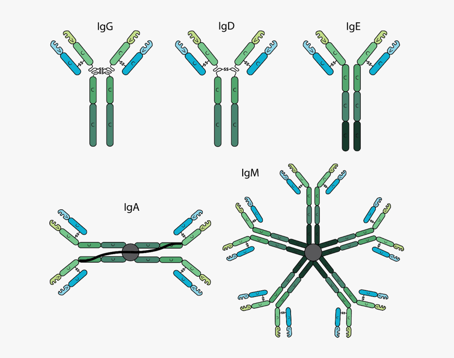 The Various Antibody Isotypes Differ In Their Biological - Structure Of Different Antibodies, Transparent Clipart