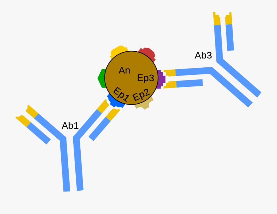 Flatworm Diagram - Antigen Antibody Svg, Transparent Clipart