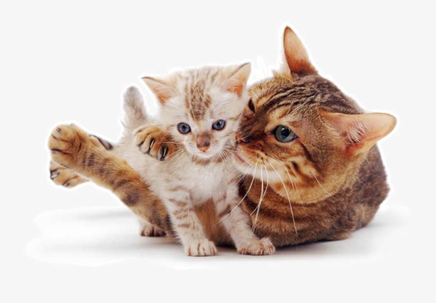 Transparent Cute Cat Png - Cat And Kitten White Background, Transparent Clipart